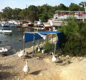 Σπέτσες: Ένα κοτέτσι με πάπιες σε μαύρο χάλι εκεί που παρκάρουν τα σκάφη κ κάνουν ρομαντικές βόλτες οι επισκέπτες!!!!  - Κυρίως Φωτογραφία - Gallery - Video
