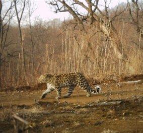Η σπανιότερη λεοπάρδαλη στον κόσμο εμφανίζεται ξανά! - Κυρίως Φωτογραφία - Gallery - Video