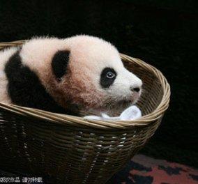 Δείτε ένα baby panda για καλημέρα - Κυρίως Φωτογραφία - Gallery - Video