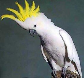 Ένας παπαγάλος που χορεύει, ροκάρει και πρωταγωνιστεί σε διαφημίσεις! - Κυρίως Φωτογραφία - Gallery - Video