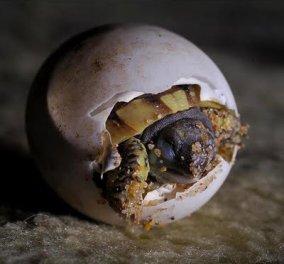 ...Και το πρώτο χελωνάκι της σεζόν είναι ήδη 20 ημερών - Κυρίως Φωτογραφία - Gallery - Video