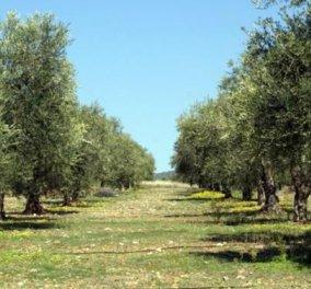Good News: 2 εκ. ελαιόδενδρα θα φυτέψουν στο Τέξας που επενδύει στο λάδι τώρα και όχι στο πετρέλαιο! - Κυρίως Φωτογραφία - Gallery - Video