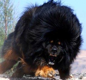 Θιβετιανό Μαστίφ: Γνωρίστε το μεγαλύτερο, δυνατότερο και ακριβότερο είδος σκύλου! Εσείς θα θέλατε ένα τέτοιο στο σαλόνι σας; (Φωτό) - Κυρίως Φωτογραφία - Gallery - Video