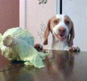 Smile: Σκύλος μετά από επανειλλημένες προσπάθειες κλέβει...λάχανο!(Βίντεο) - Κυρίως Φωτογραφία - Gallery - Video