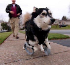 Ραγίζει καρδιές το σκυλάκι που τρέχει για πρώτη φορά με τα προσθετικά του πόδια - Μια τρυφερή ιστορία αγάπης!(Φωτό - Βίντεο) - Κυρίως Φωτογραφία - Gallery - Video