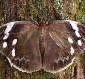 Η φύση εντυπωσιάζει & πάλι: Πεταλούδα μεταμορφώνεται & μιμείται το κεφάλι οχιάς - Κυρίως Φωτογραφία - Gallery - Video