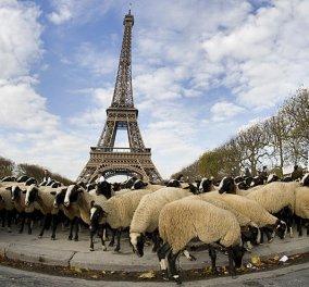 Μετρούν... προβατάκια στον Πύργο του Άιφελ - Βοσκοί διαμαρτυρήθηκαν κατά των λύκων, φέρνοντας τα κοπάδια τους στην «καρδιά» του Παρισιού! - Κυρίως Φωτογραφία - Gallery - Video