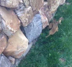 Απίθανο βίντεο: Νεαρές νυφίτσες προσπαθούν να σκαρφαλώσουν σε πέτρινο τοίχο, ακολουθώντας την μαμά τους! - Κυρίως Φωτογραφία - Gallery - Video