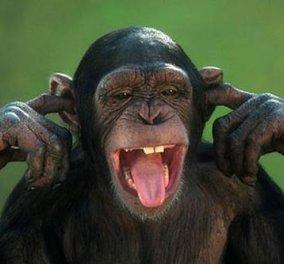 Οι χιμπατζήδες μπορούν να μαθαίνουν ξένες γλώσσες σύμφωνα με έρευνα Βρετανών επιστημόνων! - Κυρίως Φωτογραφία - Gallery - Video