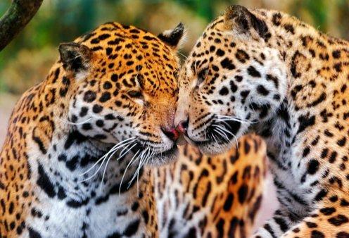 """""""Αντίο Jenny και Spotty"""": Σκότωσαν δύο τζάγκουαρ που δραπέτευσαν στο Αττικό Ζωολογικό Πάρκο ενώ βρίσκονταν μέσα επισκέπτες  - Κυρίως Φωτογραφία - Gallery - Video"""