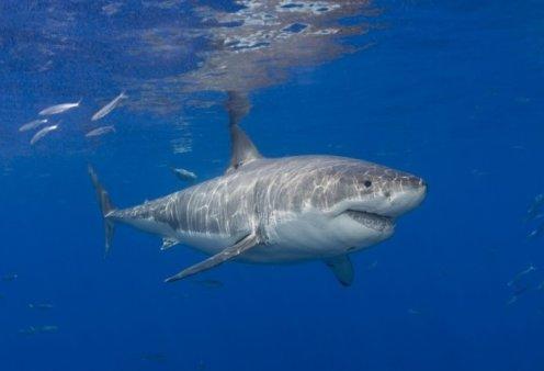 Επιστήμονες αποκαλύπτουν: Το γονιδίωμα του μεγάλου λευκού καρχαρία κρύβει χρήσιμα μυστικά κατά του καρκίνου - Κυρίως Φωτογραφία - Gallery - Video