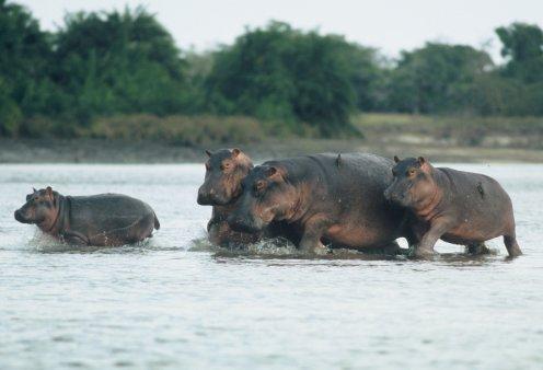 Απίθανη φωτό: 2 αρσενικοί ιπποπόταμοι παλεύουν για τα μάτια μιας ιπποποταμίνας μέσα στην Αφρική - Κυρίως Φωτογραφία - Gallery - Video