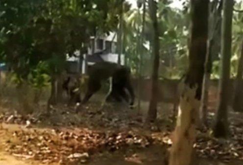 O νηστικός ελέφαντας σκότωσε ποδοπατώντας τον φροντιστήτου - Γιατίδεν τον τάιζε - Κυρίως Φωτογραφία - Gallery - Video