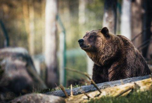 Οι αρκούδες βγήκαν παγανιά στην Καστοριά: Αψήφησαν την καραντίνα & βγήκαν βόλτα στη λίμνη (βίντεο) - Κυρίως Φωτογραφία - Gallery - Video