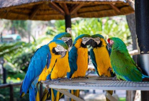 5 παπαγάλοι ''σκυλόβριζαν'' μέσα στον ζωολογικό κήπο – Τελικά τους χώρισαν για να μην συνεχιστούν οι βωμολοχίες - Κυρίως Φωτογραφία - Gallery - Video