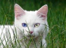 Πάμε ένα χαδιάρικο: Πανέμορφες γάτες με διαφορετικό χρώμα στα μάτια! - Κυρίως Φωτογραφία - Gallery - Video 6