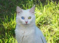 Πάμε ένα χαδιάρικο: Πανέμορφες γάτες με διαφορετικό χρώμα στα μάτια! - Κυρίως Φωτογραφία - Gallery - Video 7
