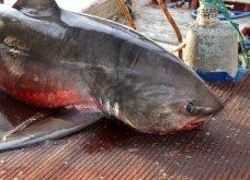 Καρχαρία, ολόκληρο θηρίο 250 κ., έβγαλε με τα δίχτυα του Ναυπλιώτης ψαράς- Δείτε τις φωτό  - Κυρίως Φωτογραφία - Gallery - Video