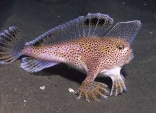 """Φωτό - Βίντεο: Τα πιο περίεργα ψάρια που έχετε δει ποτέ """"περπατάνε"""" στο νερό! - Κυρίως Φωτογραφία - Gallery - Video"""