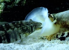 Δαυίδ εναντίον Γολιάθ: Ένα Σαλιγκάρι της θάλασσας… καταβροχθίζει ψάρι! (ΒΙΝΤΕΟ) - Κυρίως Φωτογραφία - Gallery - Video