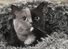 Νάρνια, η γάτα που γεννήθηκε με δύο πρόσωπα και μεγαλώνοντας έγινε πανέμορφη! (ΦΩΤΟ - ΒΙΝΤΕΟ) - Κυρίως Φωτογραφία - Gallery - Video 6