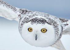 Bird Photographer of the Year 2018: Φαντασμαγορικές λήψεις πτηνών: Κύκνοι, αετός, κουκουβάγια του χιονιού - Κυρίως Φωτογραφία - Gallery - Video