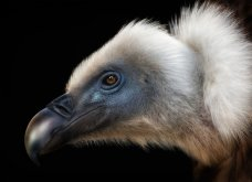 Bird Photographer of the Year 2018: Φαντασμαγορικές λήψεις πτηνών: Κύκνοι, αετός, κουκουβάγια του χιονιού - Κυρίως Φωτογραφία - Gallery - Video 5