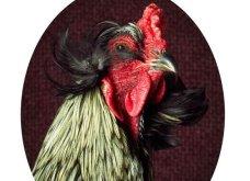 Κοτόπουλα... λόρδοι! Αυτά τα πορτραίτα δεν θυμίζουν τίποτα από ό,τι έχετε δει μέχρι τώρα- Οι κότες ποζάρουν με χάρη & κλέβουν την παράσταση (ΦΩΤΟ) - Κυρίως Φωτογραφία - Gallery - Video