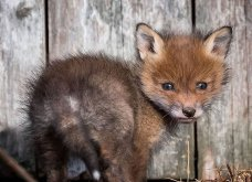"""Αξιολάτρευτα πορτραίτα από μικρές αλεπούδες που θα σας κάνουν να """"λιώσατε""""! (ΦΩΤΟ)  - Κυρίως Φωτογραφία - Gallery - Video"""