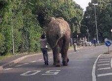 Βίντεο - Ο ελέφαντας το έσκασε από το τσίρκο πίρε τους δρόμους σε πόλη της... Γερμανίας  - Κυρίως Φωτογραφία - Gallery - Video