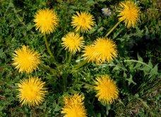Ταραξάκο- Ένα βότανο- φάρμακο τόσο ισχυρό όσο η χημειοθεραπεία!   - Κυρίως Φωτογραφία - Gallery - Video
