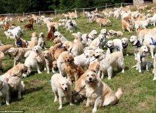 361 Γκόλντεν Ριτρίβερ γιόρτασαν 150 χρόνια από την γέννηση του πρώτου σκυλιού της ράτσας - λαγωνικό   - Κυρίως Φωτογραφία - Gallery - Video