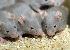 Γεννήθηκαν τα πρώτα ποντίκια από από γονείς ίδιου φύλου – Μπαμπάδες ποντικοί με παρένθετη μητέρα! - Κυρίως Φωτογραφία - Gallery - Video