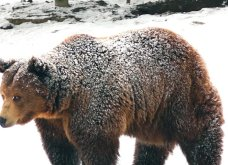 Μια αρκουδίτσα σε βίντεο έφερε κοντά και συγκίνησε τον Πάνο Καμμένο και τον Άδωνι Γεωργιάδη - Κυρίως Φωτογραφία - Gallery - Video