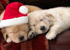 Αξιολάτρευτα σκυλάκια ντύθηκαν Αη Βασίληδες ή Ρούντολφ  - Απλά θα τα λατρέψετε!  - Κυρίως Φωτογραφία - Gallery - Video