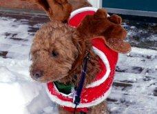 Αξιολάτρευτα σκυλάκια ντύθηκαν Αη Βασίληδες ή Ρούντολφ  - Απλά θα τα λατρέψετε!  - Κυρίως Φωτογραφία - Gallery - Video 3