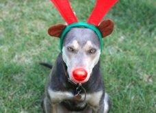 Αξιολάτρευτα σκυλάκια ντύθηκαν Αη Βασίληδες ή Ρούντολφ  - Απλά θα τα λατρέψετε!  - Κυρίως Φωτογραφία - Gallery - Video 5