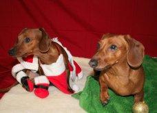 Αξιολάτρευτα σκυλάκια ντύθηκαν Αη Βασίληδες ή Ρούντολφ  - Απλά θα τα λατρέψετε!  - Κυρίως Φωτογραφία - Gallery - Video 6