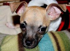 Αξιολάτρευτα σκυλάκια ντύθηκαν Αη Βασίληδες ή Ρούντολφ  - Απλά θα τα λατρέψετε!  - Κυρίως Φωτογραφία - Gallery - Video 7