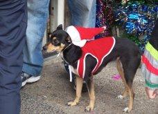 Αξιολάτρευτα σκυλάκια ντύθηκαν Αη Βασίληδες ή Ρούντολφ  - Απλά θα τα λατρέψετε!  - Κυρίως Φωτογραφία - Gallery - Video 10