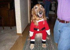 Αξιολάτρευτα σκυλάκια ντύθηκαν Αη Βασίληδες ή Ρούντολφ  - Απλά θα τα λατρέψετε!  - Κυρίως Φωτογραφία - Gallery - Video 11