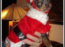 Αξιολάτρευτα σκυλάκια ντύθηκαν Αη Βασίληδες ή Ρούντολφ  - Απλά θα τα λατρέψετε!  - Κυρίως Φωτογραφία - Gallery - Video 12