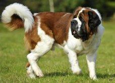 Ένα αξιολάτρευτο βίντεο με όλα όσα δεν ήξερες για τον σκύλο του Αγίου Βερνάρδου   - Κυρίως Φωτογραφία - Gallery - Video