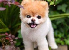 Πέθανε το ομορφότερο σκυλί του κόσμου -  Το όνομα του ήταν bοο και είχε 16 εκατ. ακόλουθους (φωτό) - Κυρίως Φωτογραφία - Gallery - Video