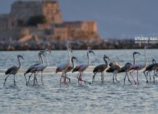 Σμήνος από πανέμορφα ροζ φλαμίνγκο έκανε... «απόβαση» στο Ναύπλιο (φωτό) - Κυρίως Φωτογραφία - Gallery - Video 2
