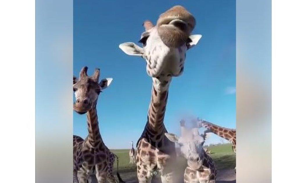 Βίντεο της ημέρας: Η πιο αγαπησιάρικη καμηλοπάρδαλη φλερτάρει με το φακό και στέλνει φιλιά - Κυρίως Φωτογραφία - Gallery - Video