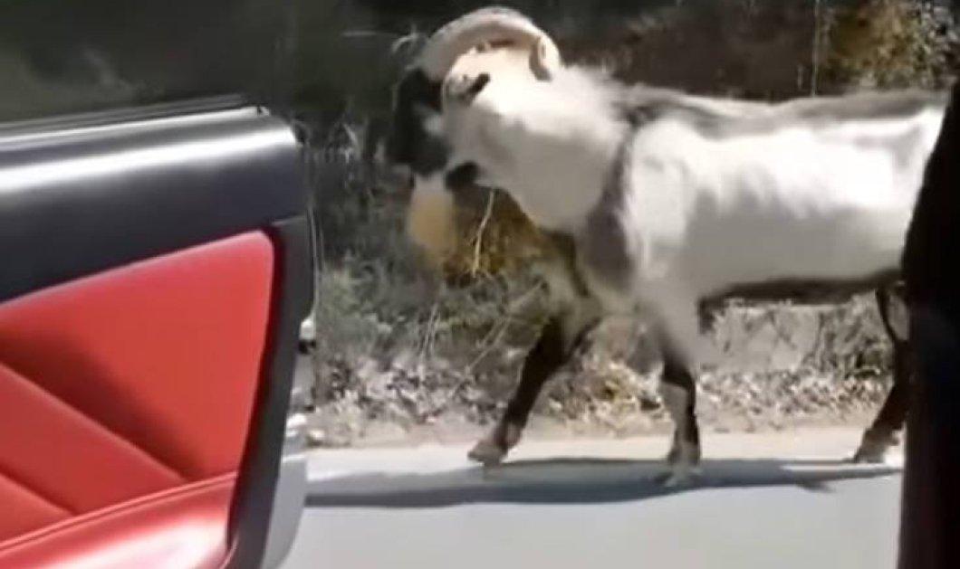 Μοναδικό: Τράγος στην Κρήτη κάνει Kiki Challenge και σαρώνει στο διαδίκτυο (Βίντεο) - Κυρίως Φωτογραφία - Gallery - Video