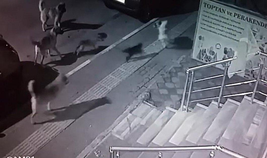 Γάτα... τίγρης τα βάζει με αγέλη σκύλων και θριαμβεύει - Αυτό θα πει άγνοια κινδύνου - Κυρίως Φωτογραφία - Gallery - Video