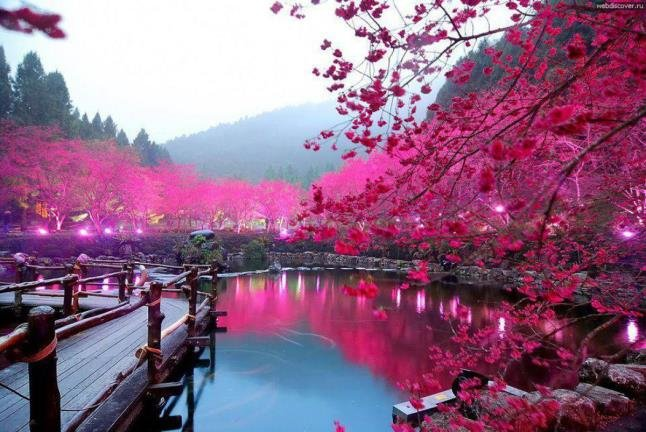 Αποτέλεσμα εικόνας για ανθισμενες κερασιες ιαπωνια