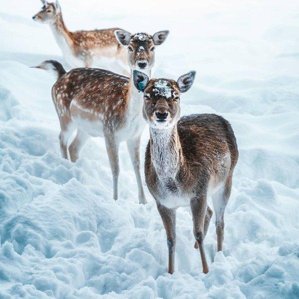 Φωτό ημέρας τα χιονισμένα ελαφάκια - μαγική εικόνα /@_marcelsiebert  - Κυρίως Φωτογραφία - Gallery - Video